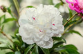 White peony flower close up, bokeh blur background, genus Paeoni