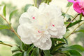 White peony flower close up, bokeh blur background, genus Paeonia