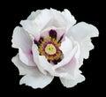 White Peony Flower Macro Photo...