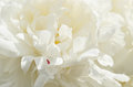 White peony layered petals of Stock Photography