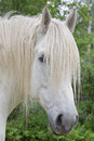 White percheron draft horse head shot an up close of a Stock Photos