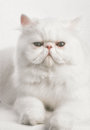 White persian cat a headshot of a on a background Stock Images