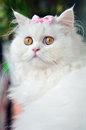 A white persian cat with a pink bow Royalty Free Stock Photo