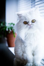 White persian himalayan cat Stock Photo