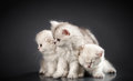 White persian pussy cats over black background Royalty Free Stock Image