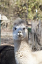 White peruvian alpaca female vicugna pacos these are alpacas that are on a farm in north alabama usa these beautiful animals are Royalty Free Stock Photography