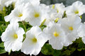 White petunia Royalty Free Stock Images