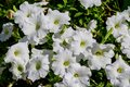 White Petunia axillaris flowers in a sunny spring garden viewd from above, fresh natural and floral background Royalty Free Stock Photo