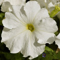 White petunia a beautiful in bloom Royalty Free Stock Photography