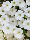 White petunia beautiful blooming at the garden Stock Photos