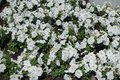 White petunias in the flowerbed in June Royalty Free Stock Photo