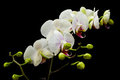 White Phalaenopsis Orchid Royalty Free Stock Photo