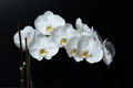 White phalaenopsis orchid on a black background butterfly Royalty Free Stock Photo