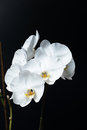 White phalaenopsis orchid on a black background butterfly Royalty Free Stock Image
