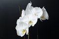 White phalaenopsis orchid on a black background butterfly Stock Photography