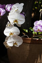 White phalaenopsis orchid orchids known as the moth blooming in ceramic container pink orchids blurred in background Stock Photos