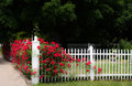 White picket fence and red rose vine lush roses grow on a bright with deep green background room for text Stock Image