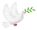 White pigeon flying with leaf concept peace Royalty Free Stock Photo