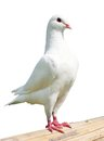 White pigeon imperial pigeon ducula isolated on background Stock Images