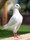 White pigeon imperial pigeon ducula view of Stock Image