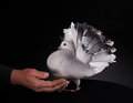 White pigeon and male hand on black background Stock Images