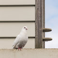 White pigeon sitting at dovecote close up of Stock Photography