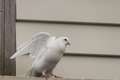 White pigeon taking off close up of Stock Images