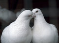 White pigeons in love kissing Royalty Free Stock Photo