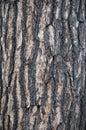 White pine bark Royalty Free Stock Photo