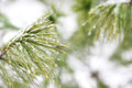 White Pine Tree Covered in Ice Droplets Royalty Free Stock Photo
