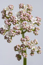 White And Pink Blooming Allheal Valerian Stock Photos