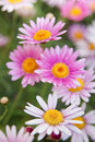 White and pink daisies Royalty Free Stock Photo