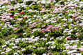 White and pink daisies field blossom in spring Stock Images