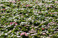 White and pink daisies field blossom in spring Royalty Free Stock Image