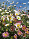 White and pink daisy flowers field looking the sky Stock Photos