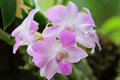 White Pink Dendrobium phalaenopsis hybrid orchid Royalty Free Stock Photo