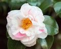 White and pink flower of camellia japonica tricolor beautiful striped glossy leaves in spring Royalty Free Stock Photos