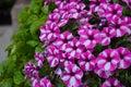 White-pink flowers from flower beds. Garden Phlox Phlox paniculata. Natural background. Garden Ornamental Plants
