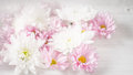 White and pink flowers on the white background horizontal Royalty Free Stock Photo