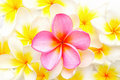 White and pink Frangipani flowers Stock Images