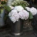White, pink  hydrangea macrophylla. Royalty Free Stock Photo