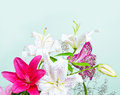 White and pink lily flowers Royalty Free Stock Image