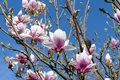 Early spring white-pink magnolia blossoms 03 Royalty Free Stock Photo