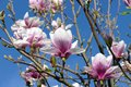Early spring white-pink magnolia blossoms 02 Royalty Free Stock Photo