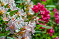 White and pink oleander flowers close up view of Stock Photography