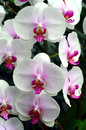 White pink orchids Royalty Free Stock Photo