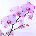 White and pink orchids on a branch. White background Royalty Free Stock Photo