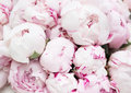 White And Pink Peonies. Backgr...