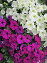 White and pink petunia flowers Stock Photo