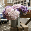 White, pink and purple, violet hydrangea macrophylla. Royalty Free Stock Photo